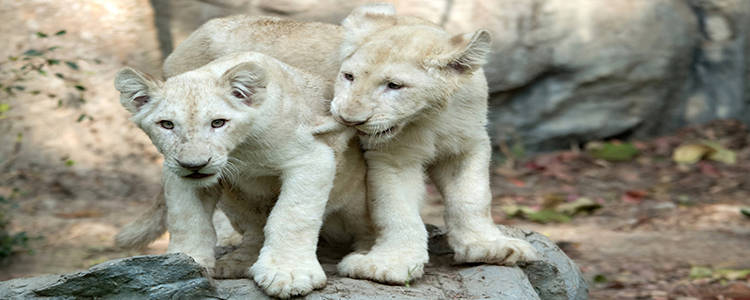 White lion Cubs Dubai Safari Park